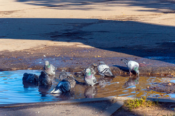 Several pigeons are washing on a sunny day in a puddle.