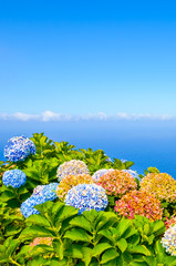Fond de hotte en verre imprimé Hortensia Colorful Hydrangea flowers photographed with blue ocean water in the background. Hortensia flower typical for Portuguese islands Madeira and Azores. Atlantic ocean landscape. Madeiran northern coast