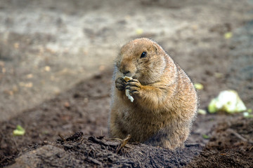 Cute wild beaver eating in nature