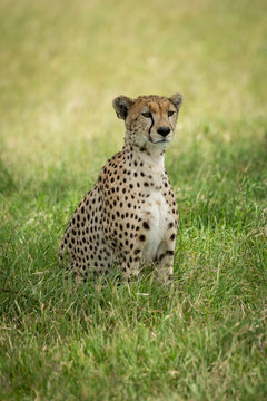Cheetah sits in tall grass in shade