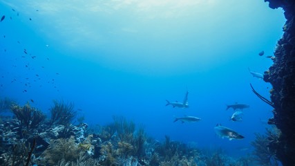 Tarpon fish in coral reef of the Caribbean Sea around Curacao