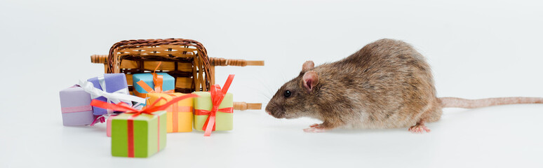 panoramic shot of little rat near toy sleigh and presents isolated on white