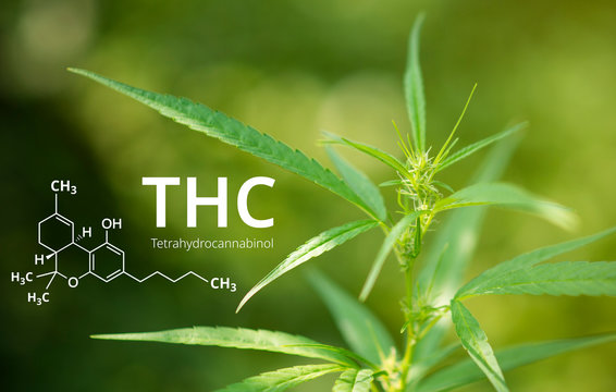 Tetrahydrocannabinol or THC molecule formula with Marijuana background, Cannabis.
