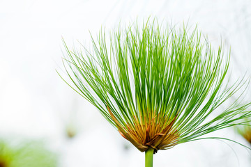 Close up view papyrus green plant as background abstract