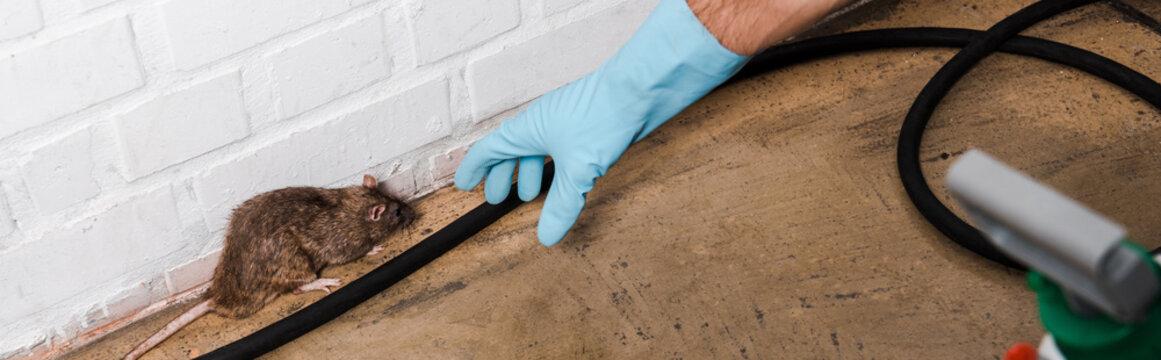 panoramic shot of exterminator in latex glove catching rat near brick wall