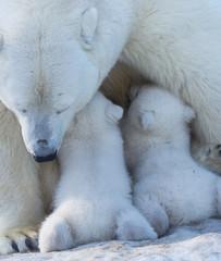 Polar bear mom feeding newborn cubs.