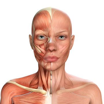 3d illustration of Female Face Muscles Anatomy