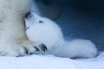 A funny white polar bear lies on a huge paw with his mom 's claws.