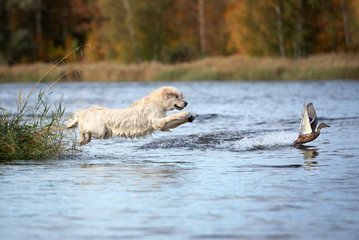 Autocollant pour porte Chasse golden retriever dog jumping into water hunting ducks