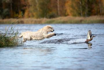 Poster de jardin Chasse golden retriever dog jumping into water hunting ducks