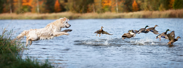 Photo sur Aluminium Chasse golden retriever dog jumping into water hunting ducks