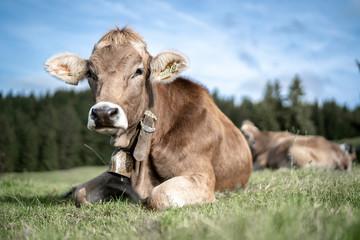 Photo sur Aluminium Vache eine Herde Kühe grasen auf einer saftigen Weide in den Alpen
