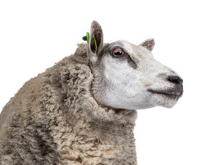 Head shot of common white sheep in full wool, standing side ways. Looking straight ahead. Isolated on white background.