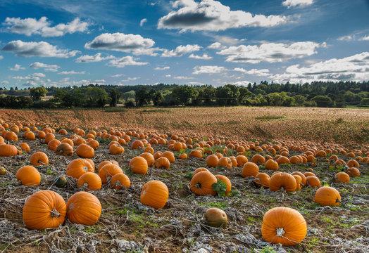 Pumpkin crop