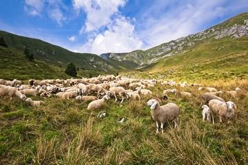 Livestock farm, flock of sheep in mountais.
