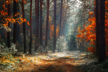 Photo sur Aluminium Route dans la forêt Autumn forest. Fall nature landscape. Beautiful yellow trees in scenic forest in morning sunlight.