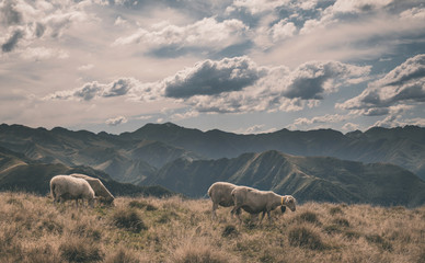 Fond de hotte en verre imprimé Sheep sheep in the French Pyrenees mountains