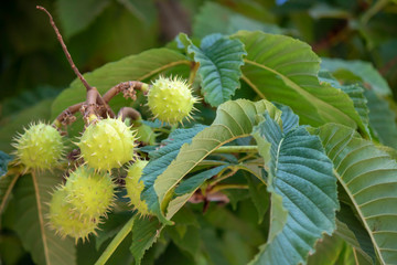 Close-up of the leaves and fruit of the Castanea sativa tree.