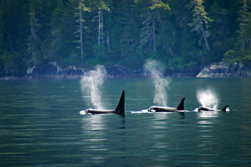 Tuinposter Canada Three orcas in a row, telegraph cove at Vancouver island, British Columbia, Canada.