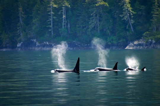 Three orcas in a row, telegraph cove at Vancouver island, British Columbia, Canada.