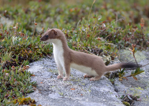 a lively ermine seen during a hike in the alps above the village of Aussois