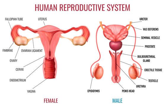 Realistic Human Reproductive System