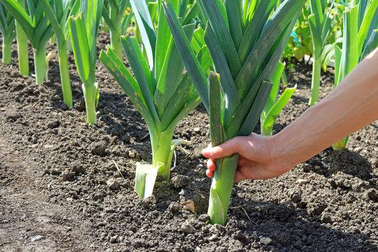 A Hand Pulling Up An Organically Grown Leek On A Vegetable Garden
