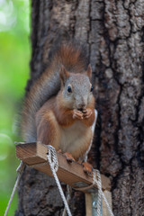 Squirrel eating a nuts from bird feeder on a tree in the Moscow park, selective focus