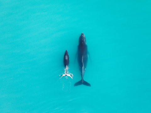Western Australian Humpback Whales