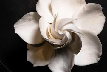 Gardenia Flower in Full Bloom High Resolution