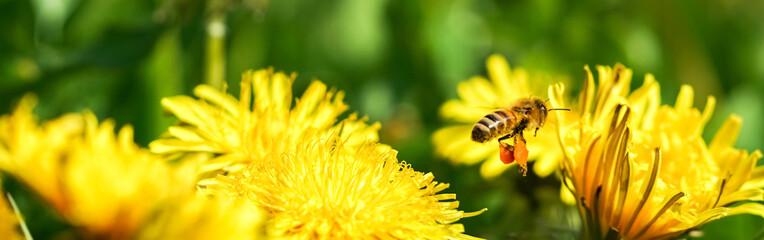 Biene sammelt Nektar auf einer Löwenzahnblume