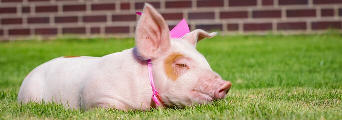 Ferkel als Glücksschwein - Pinkfarbige Schleife um den Hals gebunden