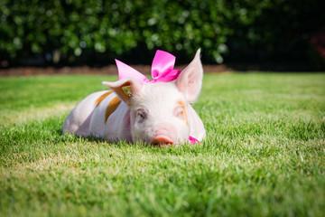 Niedliches Ferkel liegt dösend mit pinkfarbiger Schleife im Gras