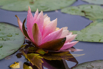 Wall Murals Water lilies pink water lily in a pond