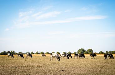 Rinder grasen auf einer trockenen Weide