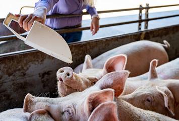 Fütterung der Schweine durch eine junge Landwirtin