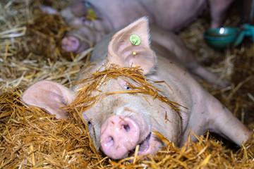 Schwein spielt im liegen, im Stroh