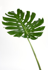 Monstera leaves Isolate on white background, The tropical evergreen vine, Green leaf, The tropical foliage plant.