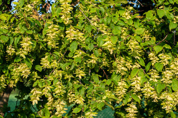 common hornbeam with many catkins in summer