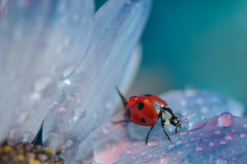 Red Ladybug on light blue colored flower petal. An artistic macro picture of Ladybug.