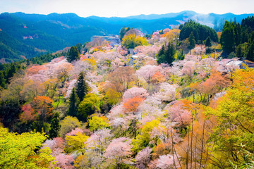 Beautiful Cherry blossom flowers at mount Yoshino in Spring.