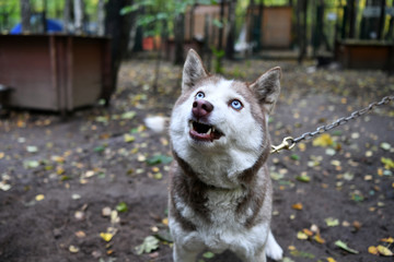 blue-eyed husky posing in the park