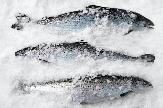 Fresh Norwegian salmon on ice in supermarket
