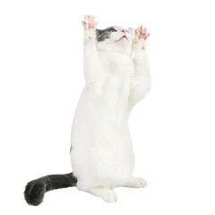 White young cat with black tail playing on isolated white background