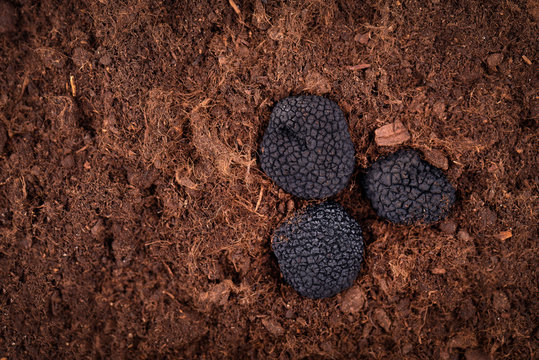 Black truffle in the ground. Truffle hunt. Mushroom cultivation. Delicacy exclusive truffle mushroom. Piquant and fragrant French delicacy.
