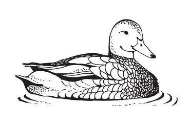 Duck vector drawing in retro engraving style, isolated on white background