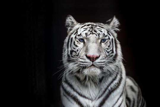 Tiger Bengal white variation. Beautiful female white tiger.