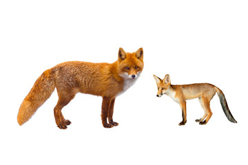fox and young fox isolated on a white background