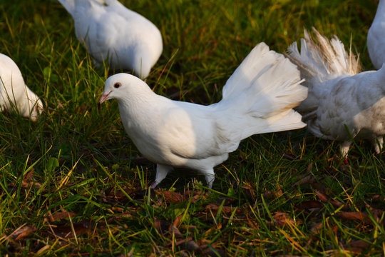 colombe sul prato