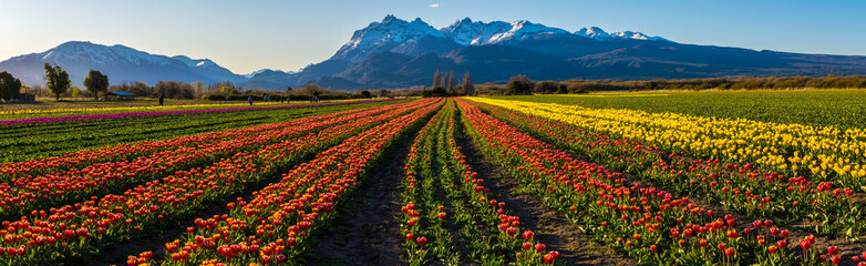 Scene view of field of tulips against clear sky in Trevelin, Patagonia, Argentina